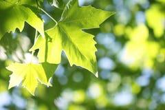 Baumzweig mit grünen Blättern stockfotografie