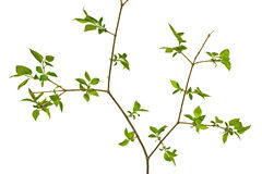 Baumzweig mit grünen Blättern Lizenzfreies Stockfoto