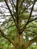 Baumzweige mit Blättern mit bewölktem Großer Baum und Niederlassungen Stockbilder