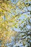 Baumzweige mit Blättern mit bewölktem Lizenzfreie Stockfotos