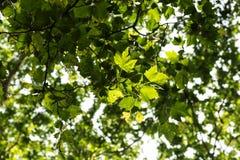Baumzweige mit Blättern mit bewölktem Stockfotos