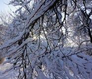 Baumzweige umfaßt mit Schnee Stockfotos