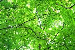 Baumzweige und Grünblätter Lizenzfreie Stockfotografie