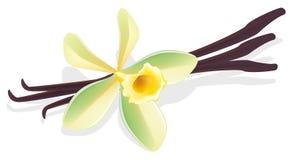 Baunilha da flor. Vagens secados. Ilustração do vetor. ilustração stock