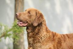 Bautiful切塞皮克湾猎犬 库存照片