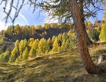 Colorful alpine forest of larches and firs in autumn. View on beautiful and colorful alpine forest of larches and firs in autumn royalty free stock photos