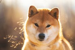 Bautiful red Shiba inu dog sitting in the field at sunset. Close-up portrait of a beautiful red dog breed Shiba inu sitting in the field at sunset. Beautiful royalty free stock photography
