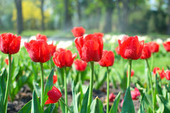 Bautiful red tulips in the garden Stock Image