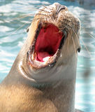 Bautiful sea lion. Otaria byronia - South American Sea Lion with open mouth Royalty Free Stock Photography