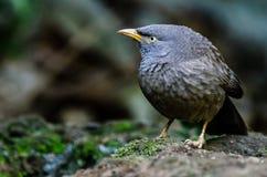 Bavard commun --- Oiseau Photo libre de droits