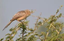 Bavard de jungle (striata de Turdoides) étant perché sur l'arbre de Babool Photos stock