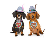 Bavarian beer dachshund sausage dogs ,  couple of two Royalty Free Stock Photography