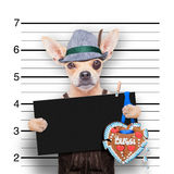 Bavarian beer mugshot dog Royalty Free Stock Images