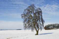 A Bavarian birch in wintertime Stock Photo