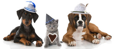 Bavarian cat and dogs Stock Photos