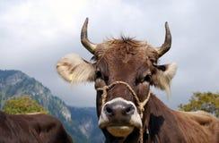 Bavarian cow Royalty Free Stock Photo