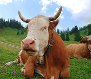 Bavarian Cow Stock Photo