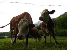 Bavarian cows cattle on meadow in mountains royalty free stock image