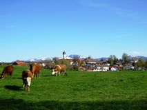 Brown Cows out to grass in front of Bavarian Village stock image