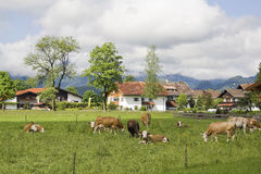Bavarian cows in Schwangau Stock Image