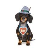 Bavarian  dachshund sausage dog Royalty Free Stock Images