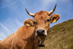 Bavarian dairy cow. Dairy cows on pasture in the Bavarian Alps Royalty Free Stock Images