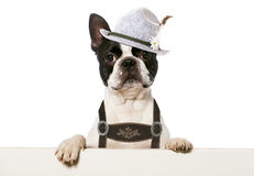 Bavarian dog Stock Photos