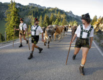 Bavarian Farmers. In traditional clothes walk with their cows after they brought them down from the mountain in Obermaiselstein,Germany royalty free stock photography