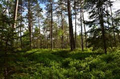 Bavarian forest with pine trees royalty free stock photo