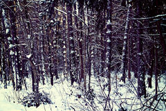 Bavarian forest in winter with frost and snow Royalty Free Stock Photos
