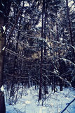 Bavarian forest in winter with snow Royalty Free Stock Photo
