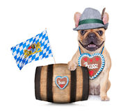 Bavarian german pug dog Stock Photography