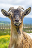 Bavarian goat Royalty Free Stock Images