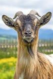Bavarian goat. Goat, typical Bavarian animal on a meadow (Capra aegagrus hircus Royalty Free Stock Images