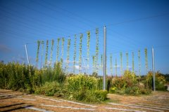 Bavarian hops in upper Franconia. Bavarian hops in front of blue sky in upper Franconia royalty free stock images
