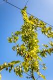 Bavarian hops in upper Franconia. Bavarian hops in front of blue sky in upper Franconia royalty free stock photos