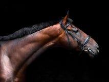 Bavarian horse low key studio portrait Stock Images