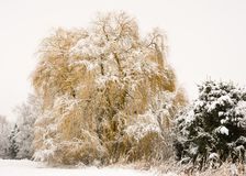 Frosted weeping willow tree royalty free stock images