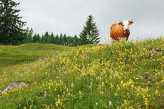 Bavarian meadow Royalty Free Stock Photos