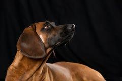 Bavarian mountain dog Stock Photos
