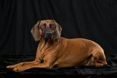 Bavarian mountain dog Royalty Free Stock Image