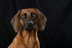 Bavarian mountain dog Royalty Free Stock Images