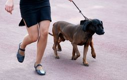 Bavarian Mountain Hound. Walking dogs on the leash Stock Images