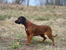 Bavarian Mountain Hound. Dog standing on a rural background Royalty Free Stock Photography