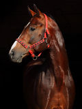 Bavarian racehorse. Looking away in black background Royalty Free Stock Photo