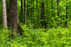 Bavarian Spring Forest Royalty Free Stock Image