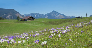 Bavarian springtime landscape with alpine cabin and crocus flowe Royalty Free Stock Image