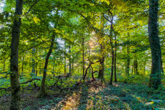 Bavarian Summer Forrest Royalty Free Stock Images