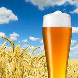 Bavarian wheat beer in a wheat field Stock Image