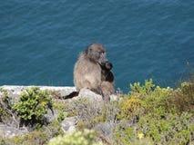 Baviaan in de Kaap van Zuid-Afrika van Goede Hoop Stock Foto's
